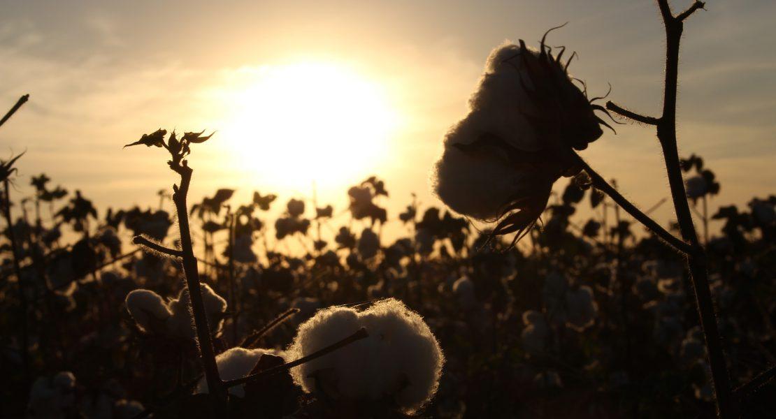 campi di cotone
